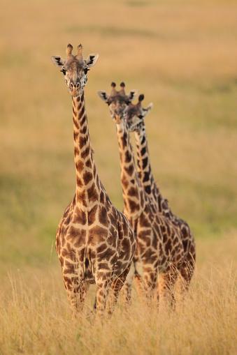 Giraffe「Three giraffes stand in high grass at sunset」:スマホ壁紙(10)