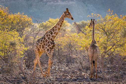 Giraffe「Three giraffes (Giraffa camelopardalis camelopardalis) amidst acacia trees, Twyfelfontein, Namibia」:スマホ壁紙(1)