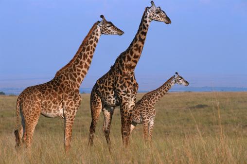 Giraffe「Three Giraffes (Giraffe camelopardalis tippleskirchi) standing in grassland, Masai Mara N.R, Kenya」:スマホ壁紙(19)