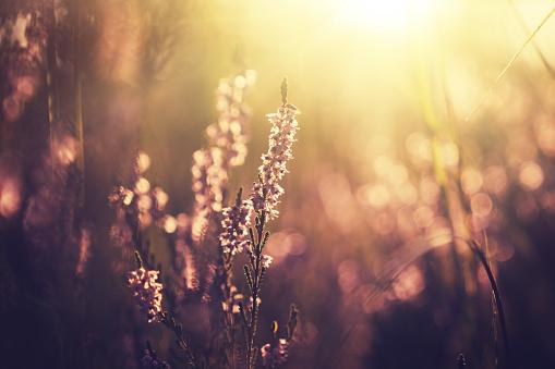 Wildflower「Forest pink flowers in sunset. Spring scene background」:スマホ壁紙(15)