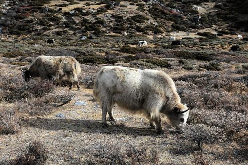 Khumbu「Yaks on the Pheriche Pass」:スマホ壁紙(18)
