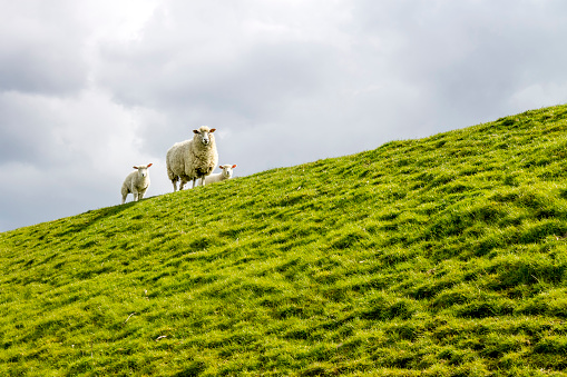 Curiosity「Germany, Buesum, sheeps on dike」:スマホ壁紙(1)