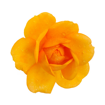 Rain「Orange rose with water drops, close-up from above, on white.」:スマホ壁紙(9)
