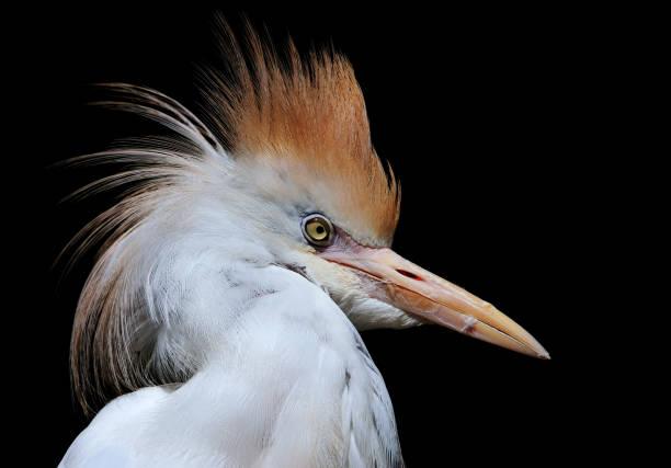 cattle egret:スマホ壁紙(壁紙.com)