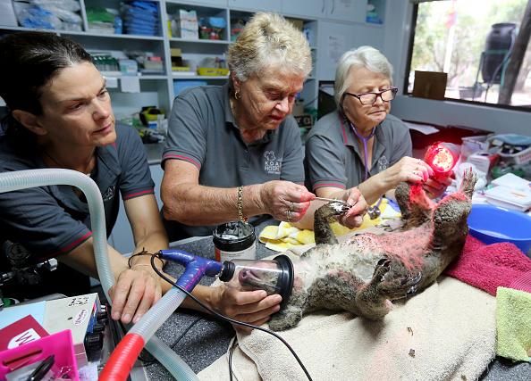 オーストラリア「Koala Hospital Works To Save Injured Animals Following Bushfires Across Eastern Australia」:写真・画像(2)[壁紙.com]