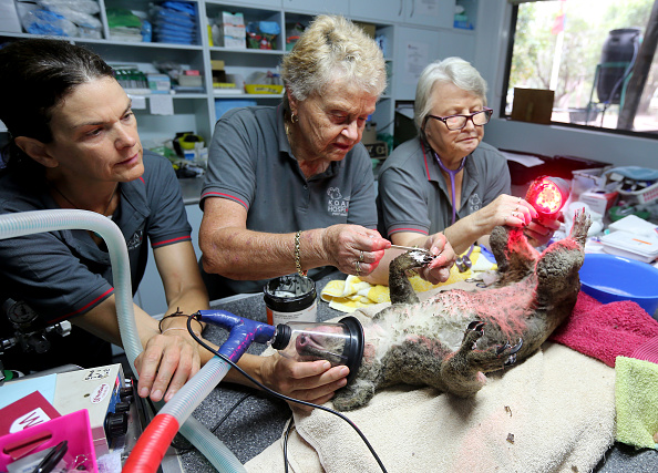 Koala「Koala Hospital Works To Save Injured Animals Following Bushfires Across Eastern Australia」:写真・画像(5)[壁紙.com]