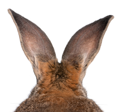 Baby Rabbit「Close-up fo a Flemish Giant, rabbit」:スマホ壁紙(4)