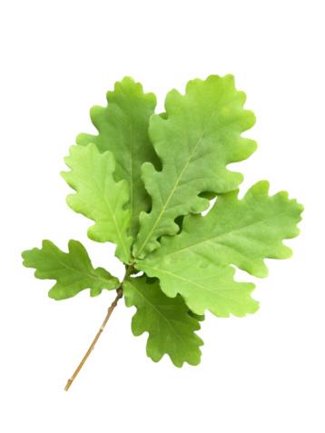 Oak Leaf「Branch of oak with young green leaves」:スマホ壁紙(10)