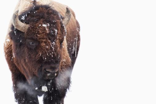 Three Quarter Length「Bison In Yellowstone National Park」:スマホ壁紙(17)