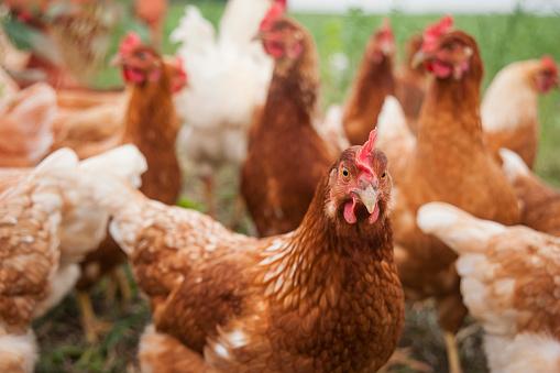 Farm「Germany, Chicken on farm」:スマホ壁紙(12)