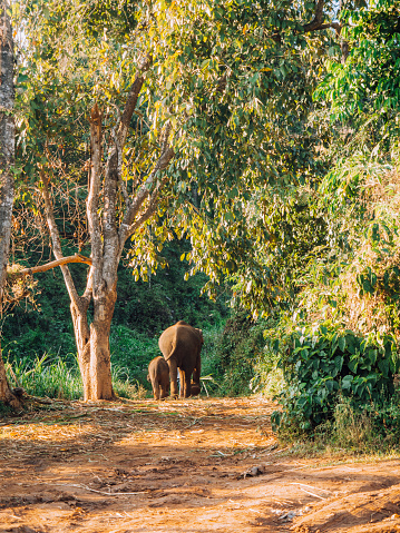Chiang Mai Province「Elephant mother and daughter walking together in the jungle」:スマホ壁紙(6)