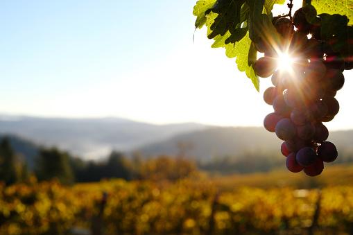 Rolling Landscape「Vineyard Grapes at Dawn」:スマホ壁紙(15)