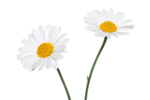 Wildflower「Daisies on white background」:スマホ壁紙(2)