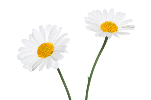 Chamomile「Daisies on white background」:スマホ壁紙(13)