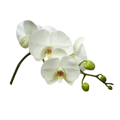 Girly「White orchid flowers on white square background」:スマホ壁紙(4)