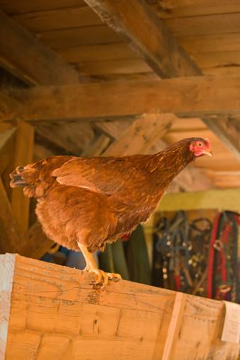 Rhode Island Red Chicken「Rhode Island Red hen in barn」:スマホ壁紙(19)