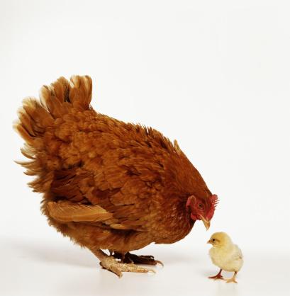 Rhode Island Red Chicken「Rhode Island red chicken hen and chick」:スマホ壁紙(13)