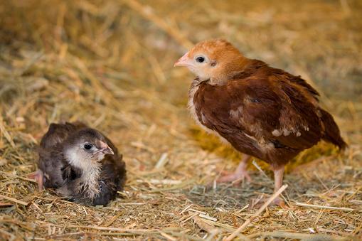 Rhode Island Red Chicken「Rhode Island Red chick standing and Black Americana chick sitting on straw bale」:スマホ壁紙(17)