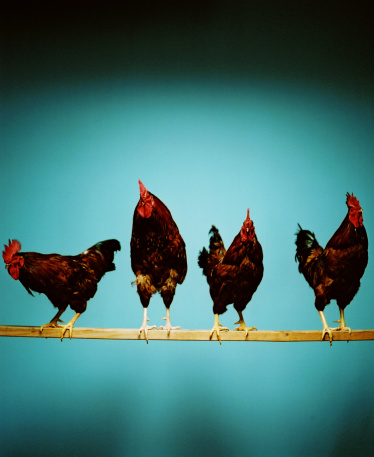 Rhode Island Red Chicken「Rhode Island Red Roosters (Gallus domesticus) on wooden pole」:スマホ壁紙(9)