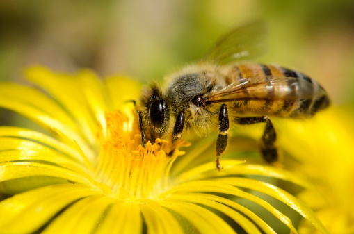 Stamen「Macro Insect Honey Bee (Apis mellifera) on Yellow Flower」:スマホ壁紙(9)