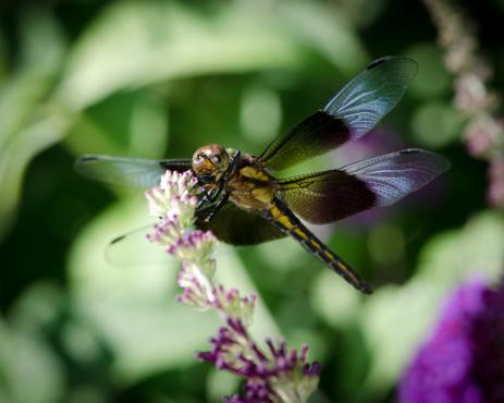 とんぼ「マクロ昆虫バンディッド棟のドラゴンフライ Perching の花」:スマホ壁紙(14)