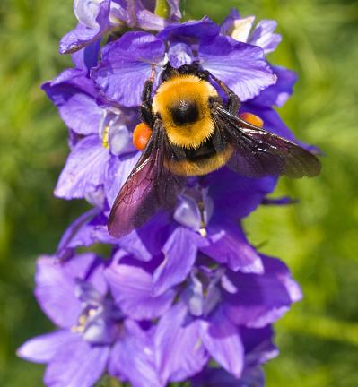 Stamen「Macro Insect American Bumble Bee (Bombus pensylvanicus) Pollinating Flower」:スマホ壁紙(7)
