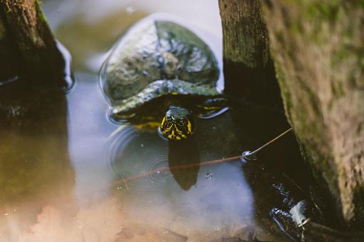Green Turtle「Turtle In Pond」:スマホ壁紙(10)