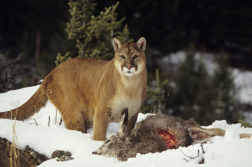 Animals Hunting「Cougar with mule deer kill in snow, Montana, USA」:スマホ壁紙(9)