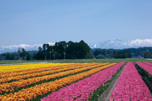 チューリップ「Flower Field of Tulip, Tonami, Toyama, Japan」:スマホ壁紙(15)