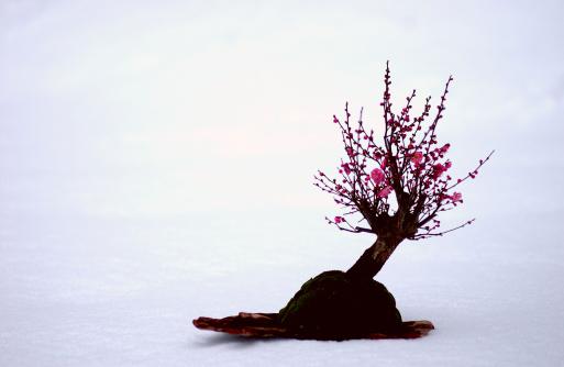 梅の花「Bonsai of Japanese plum」:スマホ壁紙(5)