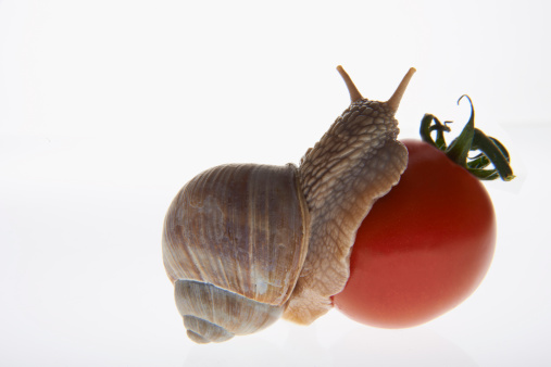 snails「Large garden snail eating a tomato」:スマホ壁紙(15)