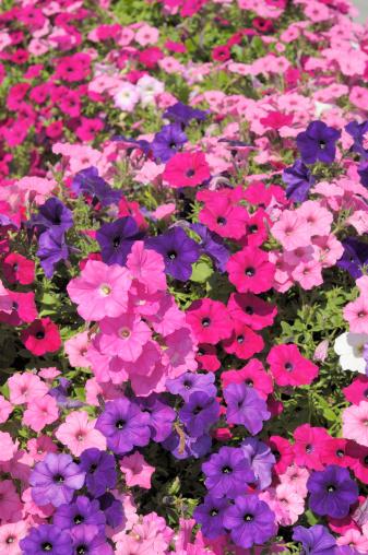 ペチュニア「広々としたガーデンのカラフルな色合いのピンクとパープル petunias」:スマホ壁紙(5)