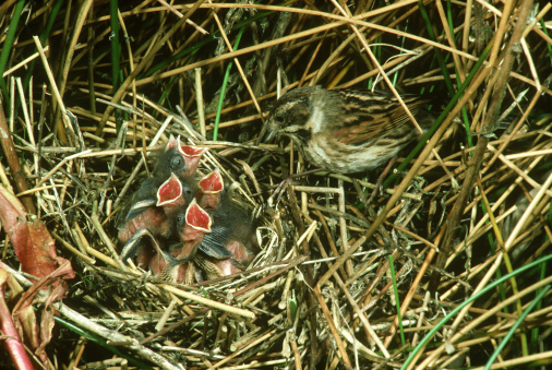 Bunting「reed bunting, emberiza schoeniclus, female at nest with young」:スマホ壁紙(3)