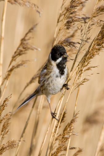 Bunting「Reed Bunting (Emberiza schoeniclus)」:スマホ壁紙(13)