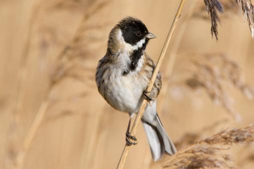 Bunting「Reed Bunting (Emberiza schoeniclus)」:スマホ壁紙(14)