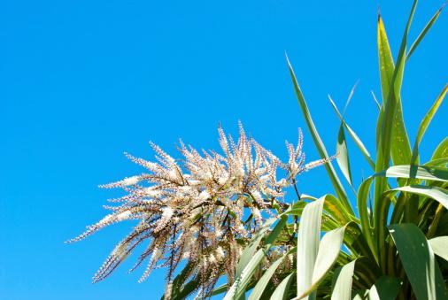 Kiwi「Ti Kouka (Cordyline australis) in Flower」:スマホ壁紙(18)