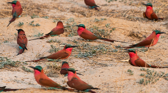 Caprivi Strip「Souther carmine bee-eater」:スマホ壁紙(18)