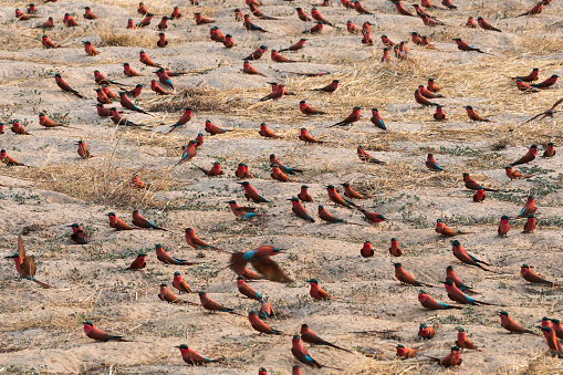 Caprivi Strip「Souther carmine bee-eater on ground near Zambezi river」:スマホ壁紙(14)