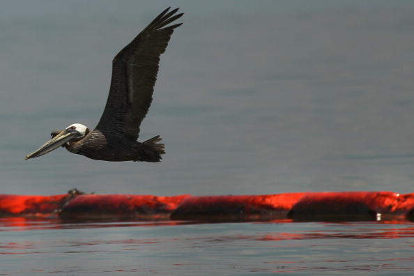 Sea Life「Gulf Oil Spill Spreads, Damaging Economies, Nature, And Way Of Life」:写真・画像(14)[壁紙.com]