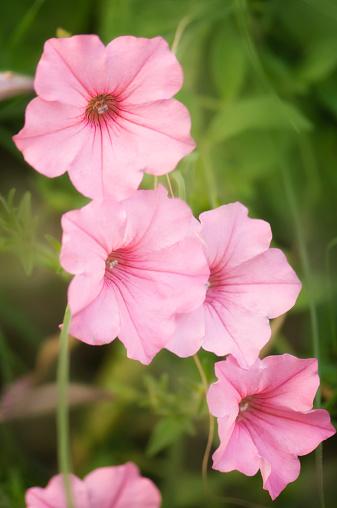 ペチュニア「A Chain of Delicate Pink Petunia Flowers」:スマホ壁紙(13)