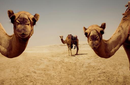 Working Animal「Camels, Doha, Qatar」:スマホ壁紙(0)
