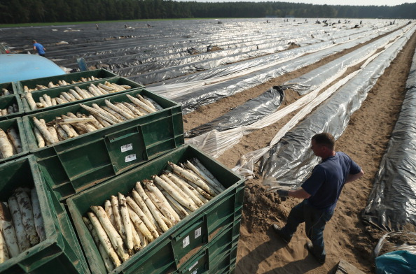 Asparagus「Workers Harvest Asparagus In Beelitz Region」:写真・画像(12)[壁紙.com]