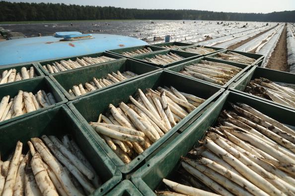 Asparagus「Workers Harvest Asparagus In Beelitz Region」:写真・画像(13)[壁紙.com]