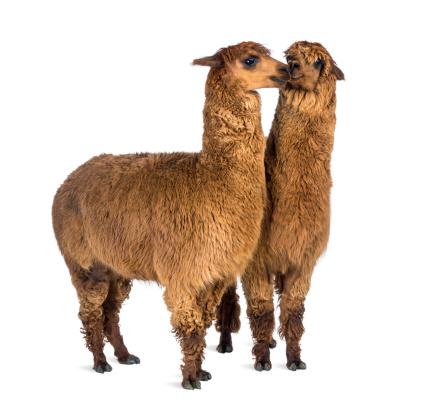 Alpaca「Two Alpacas」:スマホ壁紙(7)
