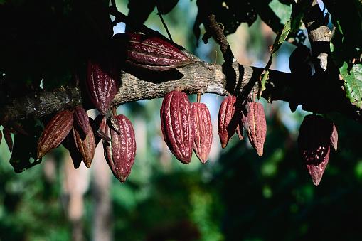 1990-1999「Cacao Fruits」:スマホ壁紙(17)