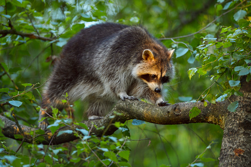 Raccoon「Raccoon, Procyon lotor, Climbing in the Branches」:スマホ壁紙(18)