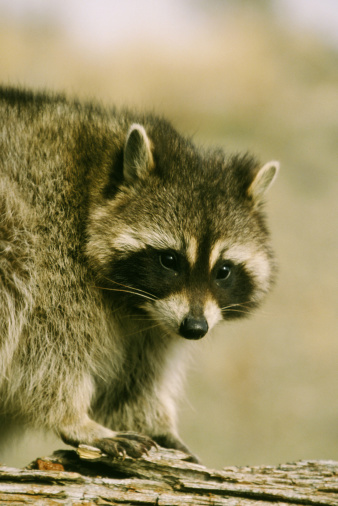アライグマ「raccoon procyon lotor on tree stump montana, usa」:スマホ壁紙(16)