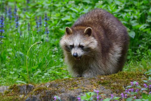 Raccoon「Raccoon, Procyon lotor」:スマホ壁紙(6)