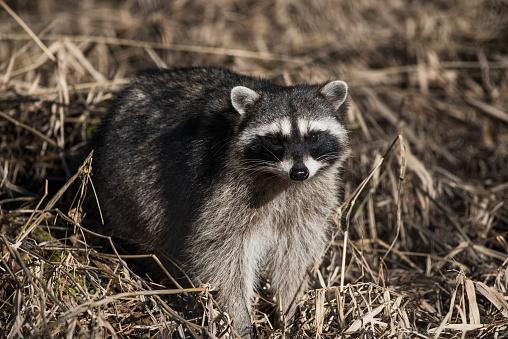Raccoon「A Raccoon (Procyon lotor) prowls in the brush」:スマホ壁紙(17)