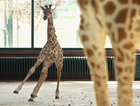 Giraffe「Baby Giraffe Born At Berlin Zoo」:写真・画像(17)[壁紙.com]